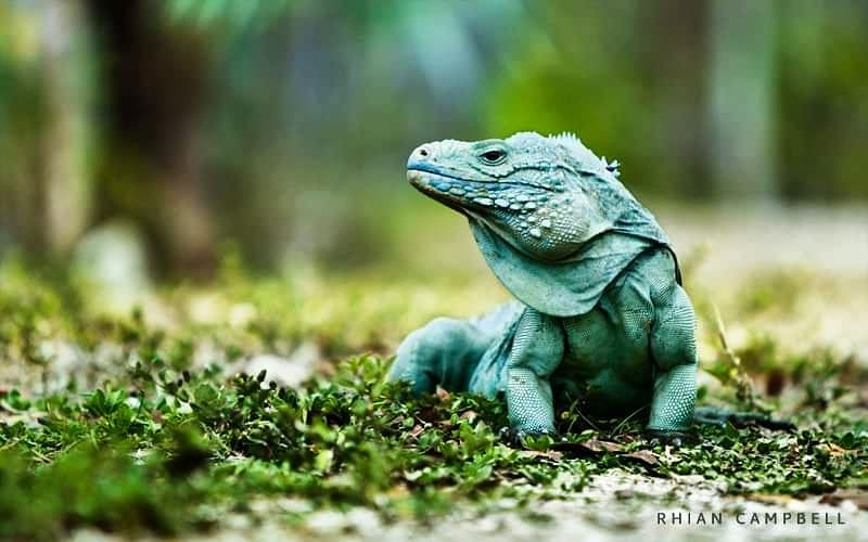 National Trust Blue Iguana Conservation