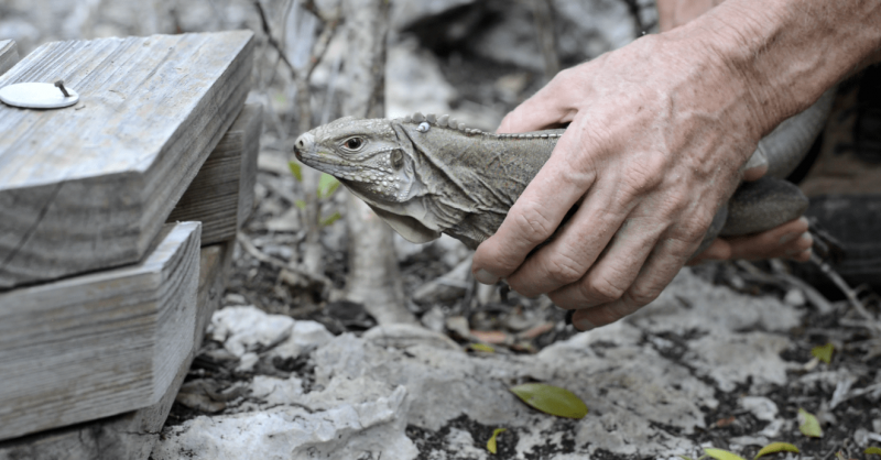 National Trust Cayman Blue Iguana